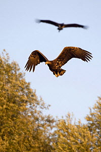 White tailed sea eagle (Haliaeetus albicilla) in flight, Black stork (Ciconia nigra) above, Elbe Biosphere Reserve, Lower Saxony, Germany, September 2008  -  Wild Wonders of Europe / Damsche