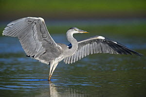 Grey heron (Ardea cinerea) with wings out stretched, Elbe Biosphere Reserve, Lower Saxony, Germany, September 2008  -  Wild Wonders of Europe / Damschen