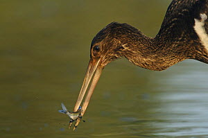 Juvenile Black stork (Ciconia nigra) with fish in beak, Elbe Biosphere Reserve, Lower Saxony, Germany, September 2008 - Wild Wonders of Europe / Damschen