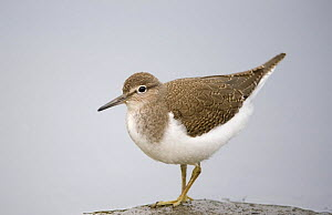Common Sandpiper (Actitis hypoleucos) on rock, Elbe Biosphere Reserve, Lower Saxony, Germany, September 2008  -  Wild Wonders of Europe / Damschen