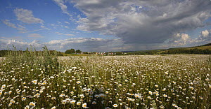 Chamomile meadows flowering in the Oka River valley, Moscow Oblast, Russia, June 2008  -  Konstantin Mikhailov