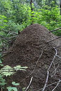 Large anthill of the Wood ant {Formica rufa} Sokolsky, Vologda Oblast, Russia, July 2008  -  Konstantin Mikhailov