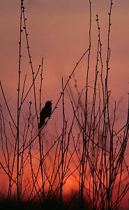 Silhouette of Grasshopper warbler {Locustella naevia} singing in early spring at dawn, Central Russia.  -  Konstantin Mikhailov