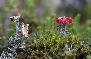 Mosses and Cladonia lichens growing in Russky Sever NP, Vologda Oblast, N Russia, October 2008  -  Konstantin Mikhailov