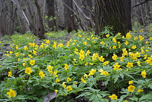 Yellow wood anemone {Eranthis sp} flowering in woodlands in central Russia, April 2008  -  Konstantin Mikhailov