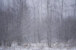 Red fox (Vulpes vulpes) in snow, Bialowieza NP, Poland, February 2009  -  Wild Wonders of Europe / Unterthiner