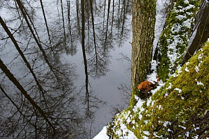 Trees reflected in water, Bialowieza NP, Poland, February 2009  -  Wild Wonders of Europe / Unterthiner