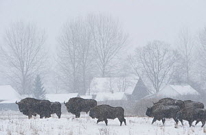 Herd of European bison (Bison bonasus) in agricultural field near buildings, Bialowieza NP, Poland, February 2009  -  Wild Wonders of Europe / Unterthiner