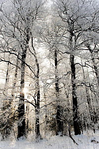 Snow covered trees, Bialowieza NP, Poland, February 2009  -  Wild Wonders of Europe / Unterthiner