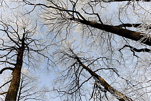 Looking up into broadleaf tree canopy, the Bialowieza NP, Poland, February 2009 - Wild Wonders of Europe / Unterthiner