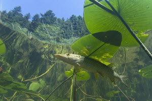 Looking up at Pike (Esox lucius) hiding under water lily leaves, Jura mountain lake, France. Veolia Environnement Wildlife Photographer of the Year 2009 - Highly commended in the 'Animals in their Env...  -  Michel Loup
