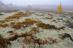 Tundra with Reindeer lichen / moss and a few small trees in mist, Forollhogna National Park, Norway, September 2008  -  Wild Wonders of Europe / Munier