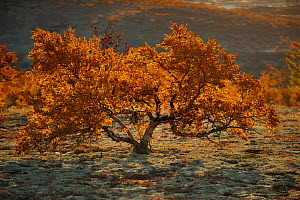 Small tree in autumn, Forollhogna National Park, Norway, September 2008  -  Wild Wonders of Europe / Munier