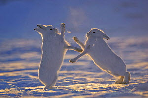 Two Arctic hares (Lepus arcticus) fighting, Northeast Greenland National Park, Greenland. Veolia Environnement Wildlife Photographer of the Year 2009: Runner-up in the 'Mammal Behaviour' category  -  Morten Hilmer
