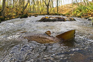 Brown trout (Salmo trutta) in shallow water migrating upstream, Bornholm, Denmark, November 2008  -  Wild Wonders of Europe / Falklin