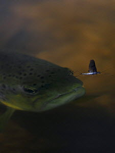 Brown trout (Salmo trutta) hunting Mayfly (Ephemera Danica) Dala river, G�tene, V�stra G�taland, Sweden, May 2009  -  Wild Wonders of Europe / Falklin