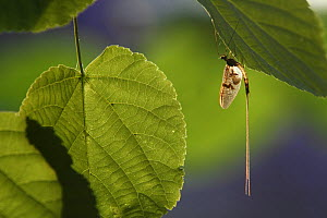 Mayfly (Ephemera Danica) on leaf, Dala river, G�tene, V�stra G�taland, Sweden, June 2009  -  Wild Wonders of Europe / Falklind