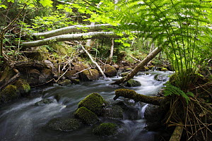 Dala river, where Brown trout (Salmo trutta) live, flowing through wood with fallen trees across the river, G�tene, V�stra G�taland, Sweden, June 2009  -  Wild Wonders of Europe / Falklind