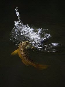 Brown trout (Salmo trutta) hunting Mayfly (Ephemera Danica) Dala river, G�tene, V�stra G�taland, Sweden, June 2009  -  Wild Wonders of Europe / Falklin