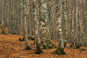 European beech (Fagus sylvatica) forest, with fallen leaves on ground, Pollino National Park, Basilicata, Italy, November 2008  -  Wild Wonders of Europe / Müller