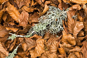 Fallen European beech leaves (Fagus sylvatica) and a twig with Lichen growing on it on the ground, Pollino National Park, Basilicata, Italy, November 2008 - Wild Wonders of Europe / Müller