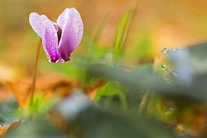Cyclamen in flower covered in water droplets, Pollino National Park, Basilicata, Italy, November 2008  -  Wild Wonders of Europe / Müller