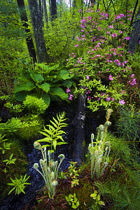 Ferns, mosses and blooming azaleas in marshes, Sapsucker Woods, Ithaca, New York, USA. May. Veolia Environnement Wildlife Photographer of the Year 2009 - Highly Commended in the 'In Praise of Plants'...  -  Floris van Breugel