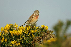 Linnet (Carduelis cannabina) male perched on Gorse, Suffolk, UK, April - Alan Williams