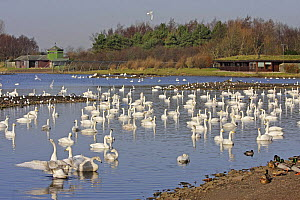 Whooper Swans (Cygnus cygnus) overwintering at  Martin Mere WWT reserve, Lancashire, UK, February 2008  -  Alan Williams