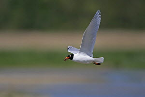 Mediterranean gull (Ichthyaetus melanocephalus) 2nd summer adult in flight with nesting material, Minsmere RSPB Reserve, Suffolk, UK, May - Alan Williams