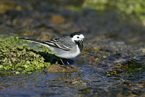 Pied wagtail (Motacilla alba yarrellii) juvenile in stream, Yorkshire, UK, March  -  Alan Williams