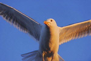 Herring gull (Larus argentatus) close up in flight, in midnight sun, Flatanger, Nord Tr�ndelag, Norway, August 2008 - Wild Wonders of Europe / Widstrand