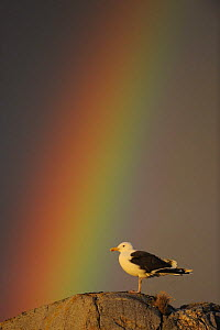 Greater black backed gull (Larus marinus) standing on rock with rainbow, North Atlantic, Flatanger, Nord-Tr�ndelag, Norway, August 2008  -  Wild Wonders of Europe / Widstrand