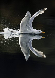 Herring gull (Larus argentatus) showing aggression on water, Flatanger, Nord-Tr�ndelag, Norway, August 2008 - Wild Wonders of Europe / Widstrand