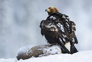 Golden eagle (Aquila chrysaetos) perched on deer carcass in snow, Flatanger, Norway, November 2008  -  Wild Wonders of Europe / Widstrand