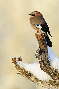 Eurasian jay (Garrulus glandarius) perched on branch in snow, Flatanger, Norway, November 2008  -  Wild Wonders of Europe / Widstra