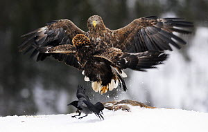 Golden eagle (Aquila chrysaetos) and White-tailed sea eagle (Haliaeetus albicilla) fighting over a deer carcass with a Hooded crow (Corvus corone cornix) nearby, Flatanger, Norway, November 2008  -  Wild Wonders of Europe / Widstrand