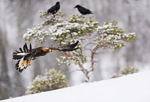 Golden eagle (Aquila chrysaetos) in flight with two Common ravens (Corvus corax) in tree behind, Flatanger, Norway, November 2008  -  Wild Wonders of Europe / Widstrand