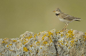 Calandra lark (Melanocorypha calandra) on rock, La Serena, Extremadura, Spain, March 2009  -  Wild Wonders of Europe / Widstrand
