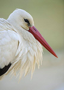 White stork (Ciconia ciconia) portrait, La Serena, Extremadura, Spain, March 2009 - Wild Wonders of Europe / Widstrand