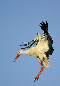 White stork (Ciconia ciconia) landing, La Serena, Extremadura, Spain, March 2009 - Wild Wonders of Europe / Widstra