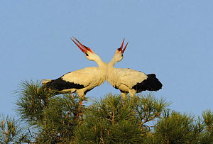 White stork (Ciconia ciconia) pair displaying, La Serena, Extremadura, Spain, March 2009 - Wild Wonders of Europe / Widstra