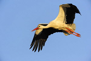 White stork (Ciconia ciconia) in flight, La Serena, Extremadura, Spain, March 2009 - Wild Wonders of Europe / Widstrand