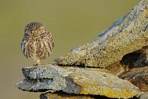 Little owl (Athene noctua) on rock, La Serena, Extremadura, Spain, April 2009 - Wild Wonders of Europe / Widstrand