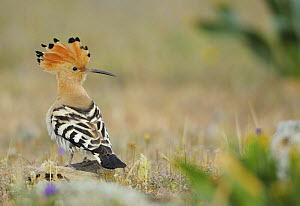 Hoopoe (Upupa epops) La Serena, Extremadura, Spain, April 2009 - Wild Wonders of Europe / Widstrand