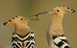 Hoopoe (Upupa epops) male feeding female in courtship display, La Serena, Extremadura, Spain, April 2009 - Wild Wonders of Europe / Widstra