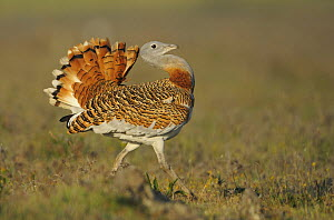 Male Great bustard (Otis tarda) displaying, La Serena, Extremadura, Spain, April 2009 - Wild Wonders of Europe / Widstrand