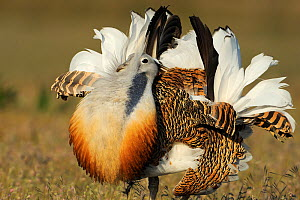 RF- Male Great bustard (Otis tarda) displaying, La Serena, Extremadura, Spain. April. (This image may be licensed either as rights managed or royalty free.)  -  Wild  Wonders of Europe / Widstrand