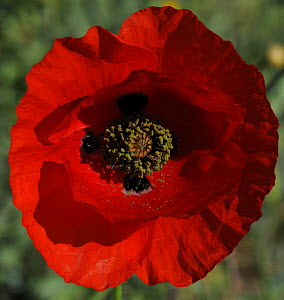 Close up of Poppy flower, La Serena, Extremadura, Spain, April 2009 - Wild Wonders of Europe / Widstrand
