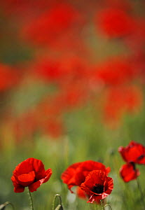 Poppies in flower, La Serena, Extremadura, Spain, April 2009 - Wild Wonders of Europe / Widstrand